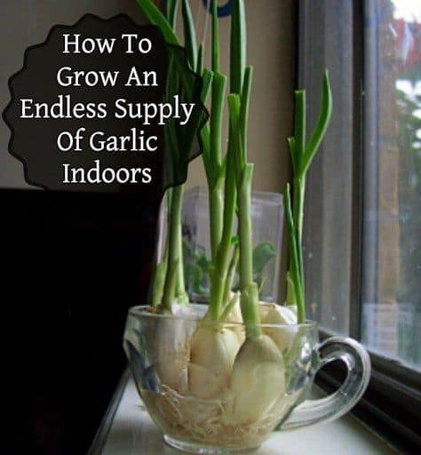 Endless Flavor: Grow Garlic Indoors!