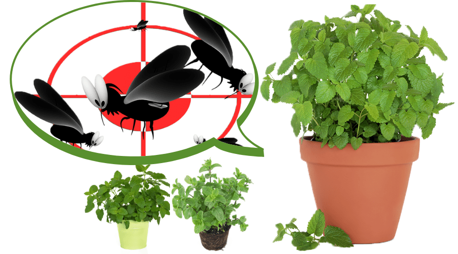 Featured Image - PLANTS THAT REPEL MOSQUITOES.png