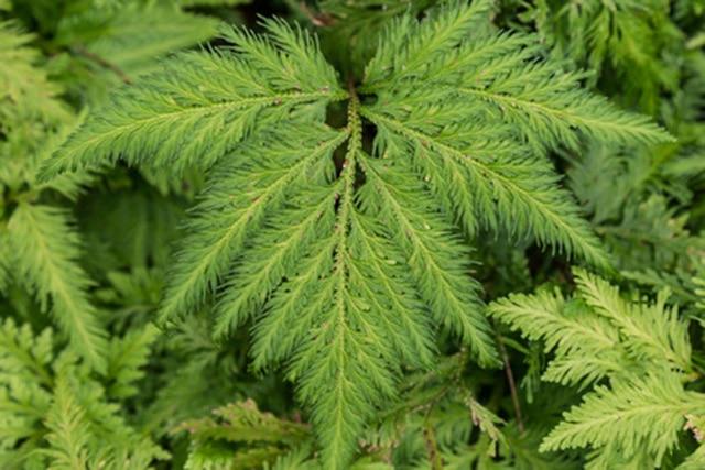 sweet fern
