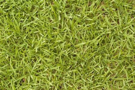 bermunda grass