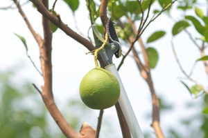 improves quality of fruit