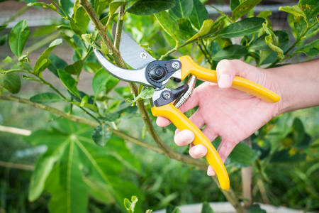 pruning-a-fruit-tree