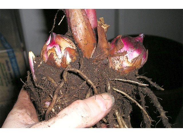 replanting a bulb canna bulbs