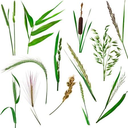 type of grass