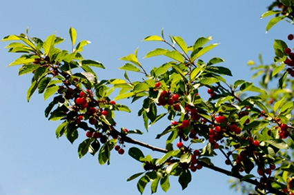 well grown cherry