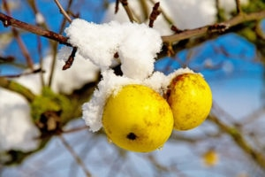 apple-fruit-during-winter