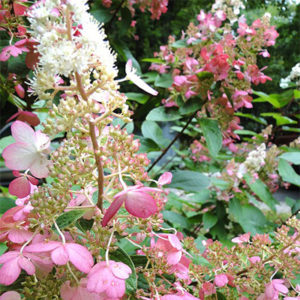 summer and autumn flowering trees and shrrubs Hydrangea