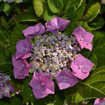 hydrangea-old-growth