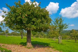 ipil tree
