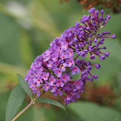 semi-woody perennials lavender