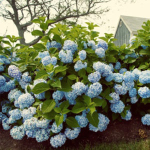 reblooming and paniculatas hydrangea