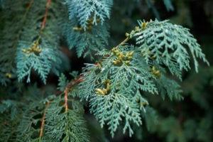 juniper-trees
