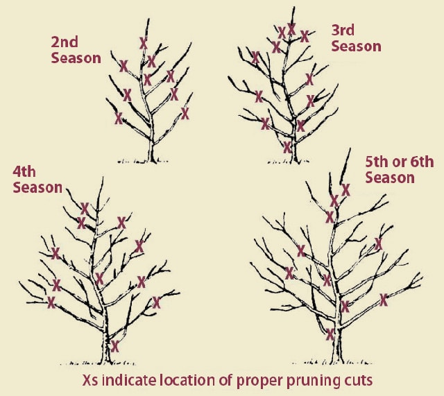 Cut Remaining Branches to Desired Length