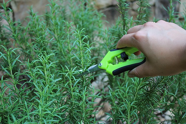 pruning-a-rosemary