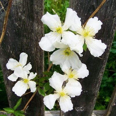 white-clematis
