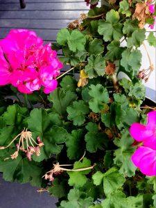 geraniums-in-winter