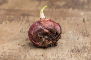 root-rot-in-bulb