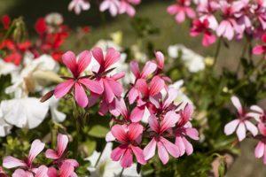 seed-geraniums