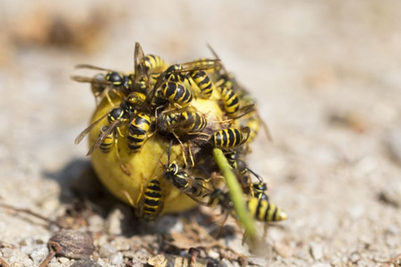 wasps-eating-fruits
