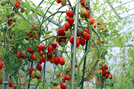 Indeterminate Tomatoes