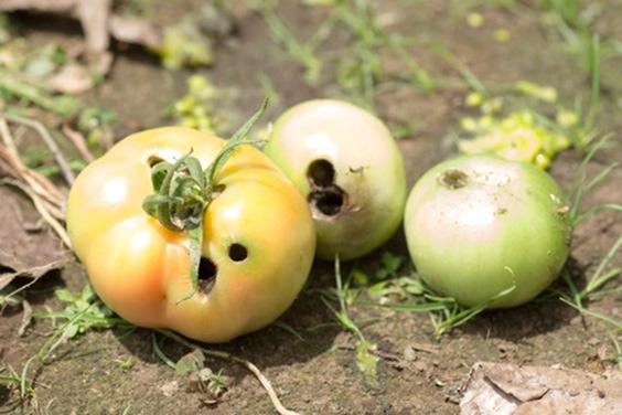damaged-tomato