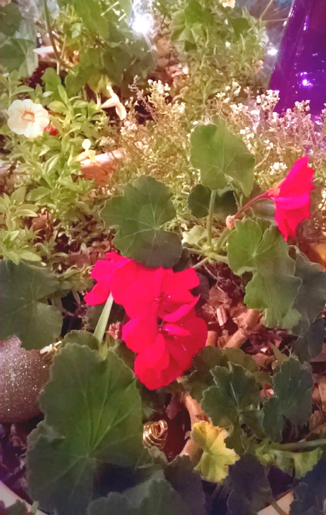 seed geraniums hybrids