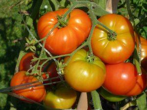 train-the-tomato