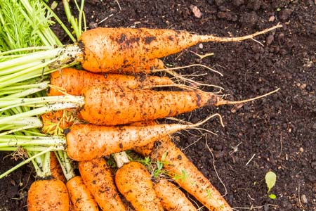 Organic Carrots On Topsoil