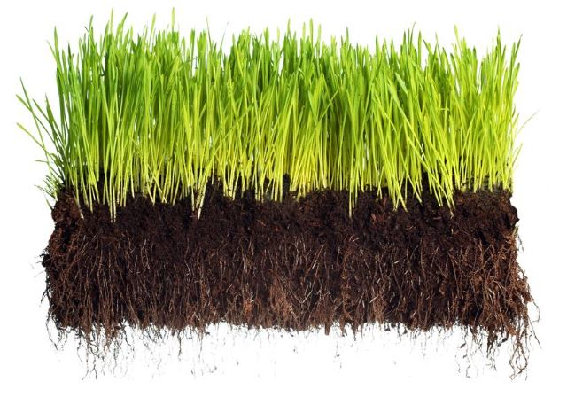 Roots Grass
