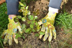 Hands in garden gloves planting a rose seedling in a garden
