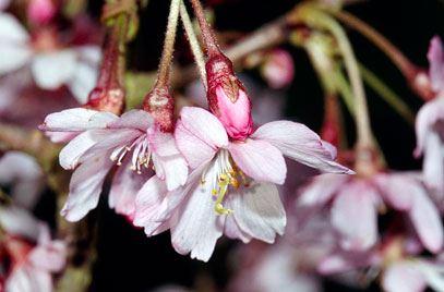 Rosebud Cherry