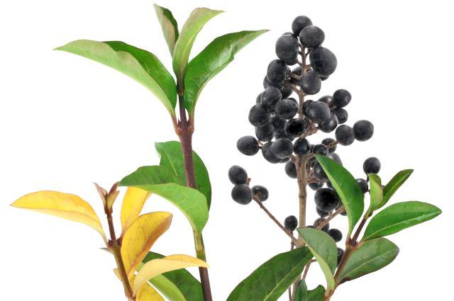 Winter Privet Berries