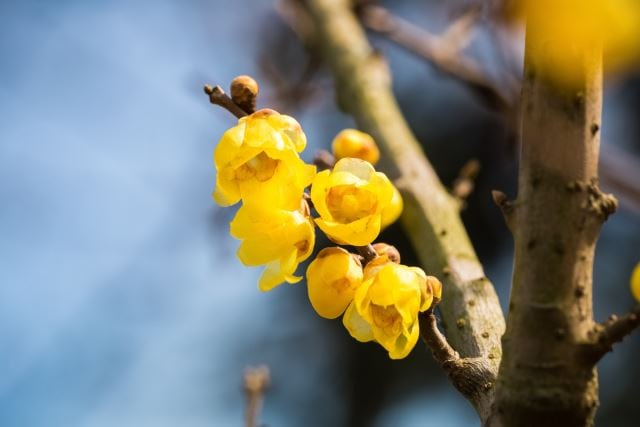 Wintersweet Flower
