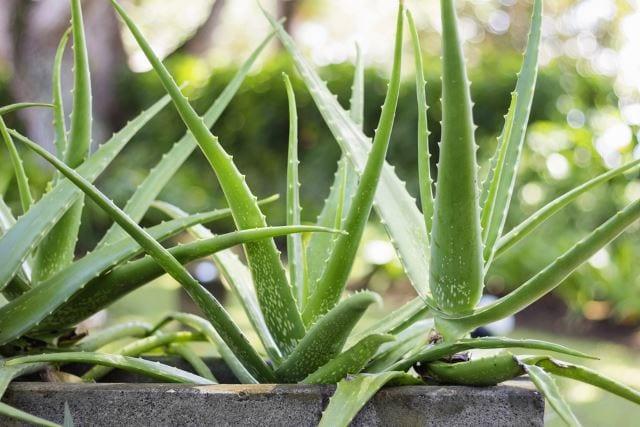 Plant Aloe Vera