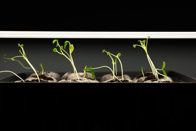 Tomato seedlings being grown under lights indoors.