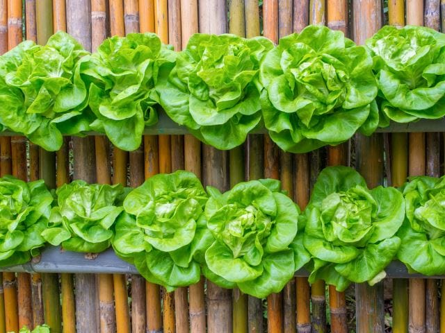 Wall Lettuce