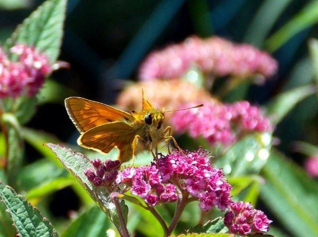 Skipper the Butterfly