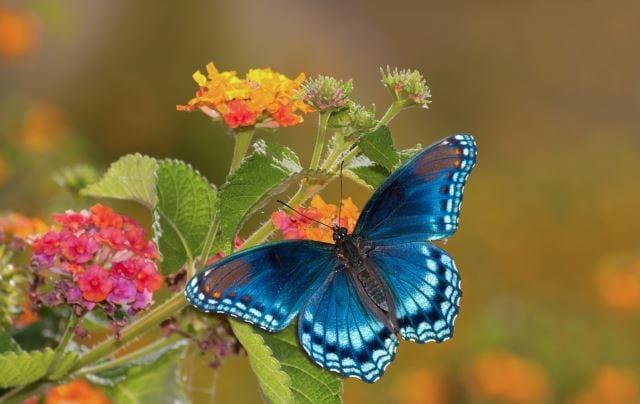9. Lantana Flowers
