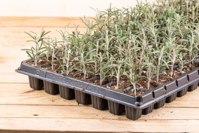 Propagating rosemary small plants in the plastic nursery box.