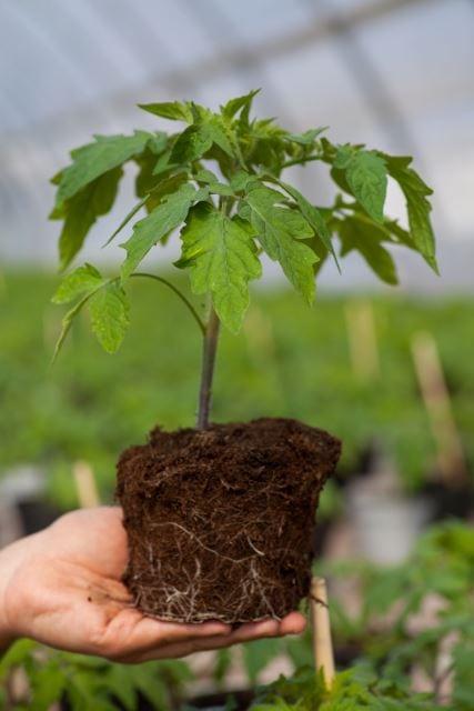 Hardening of Plants