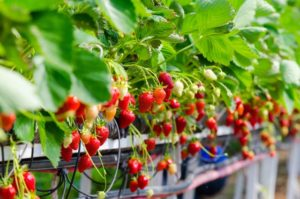Strawberries being grown commercially on table top irrigation system.