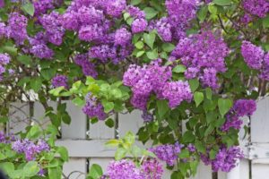 A large lilac bush in full bloom shades a white fence.