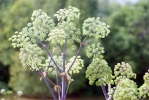 Angelica plan. Close-up . Shallow depth-of-field