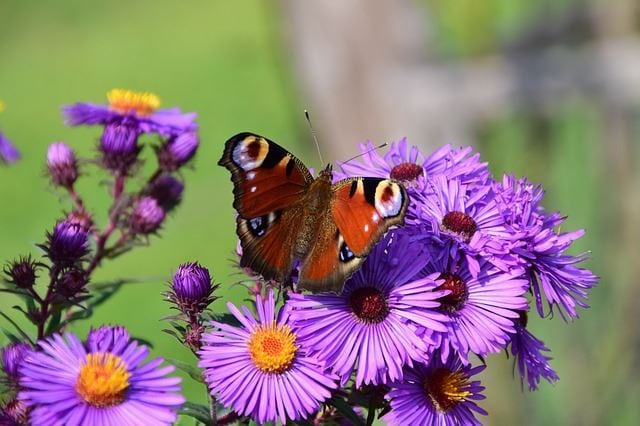 Aster and Butterfly