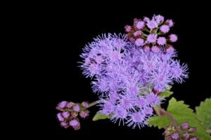 Blazing Star (Liatris) flower isolated on black