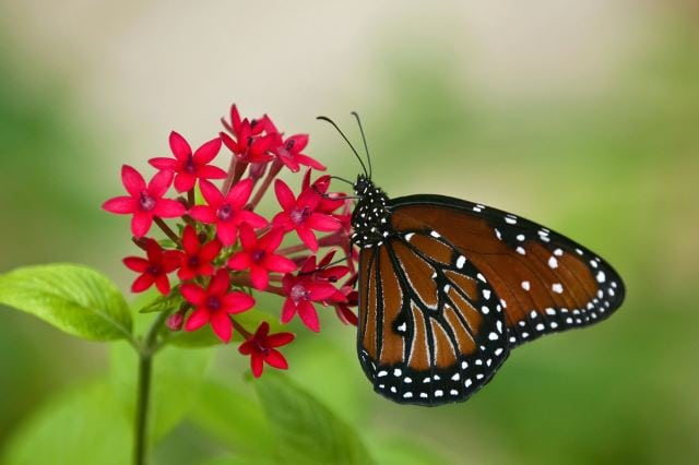 Queen Butterfly on Red Flowers