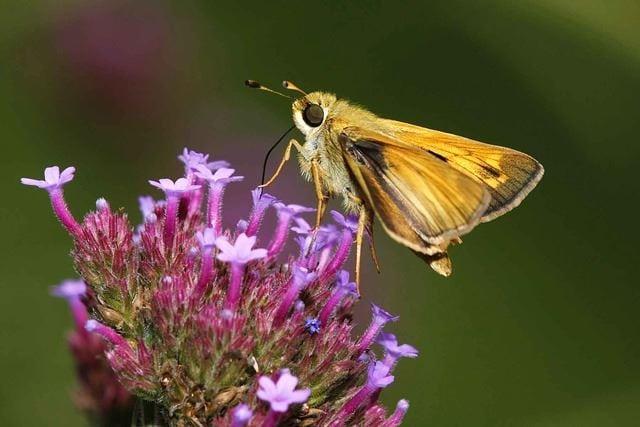 Phlox and Butterflies