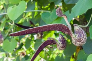 Aristolochia flower on green leaf background