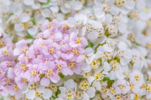 A close-up of pink and white yarrow (achillea) flowers