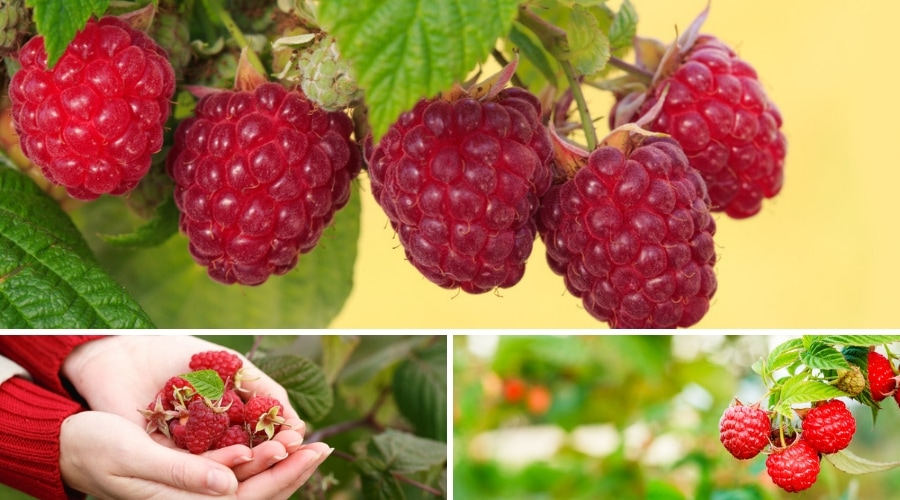 Featured Image - GROWING RASPBERRIES_ ITS ORIGIN, BENEFITS, AND RECIPES
